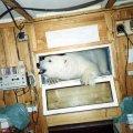 <p>Niedźwiedź wchodzi do radiostacji (Spitsbergen w ramach 18-tej wyprawy PAN)</p>
